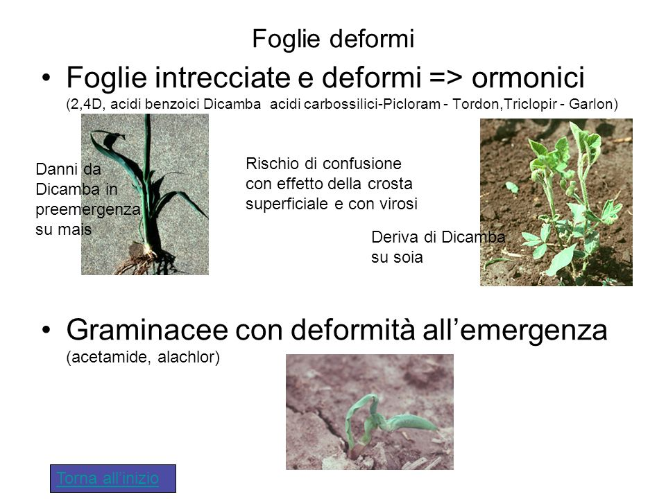 Foglie deformi Foglie intrecciate e deformi => ormonici (2,4D, acidi benzoici Dicamba acidi carbossilici-Picloram - Tordon,Triclopir - Garlon) Gramina
