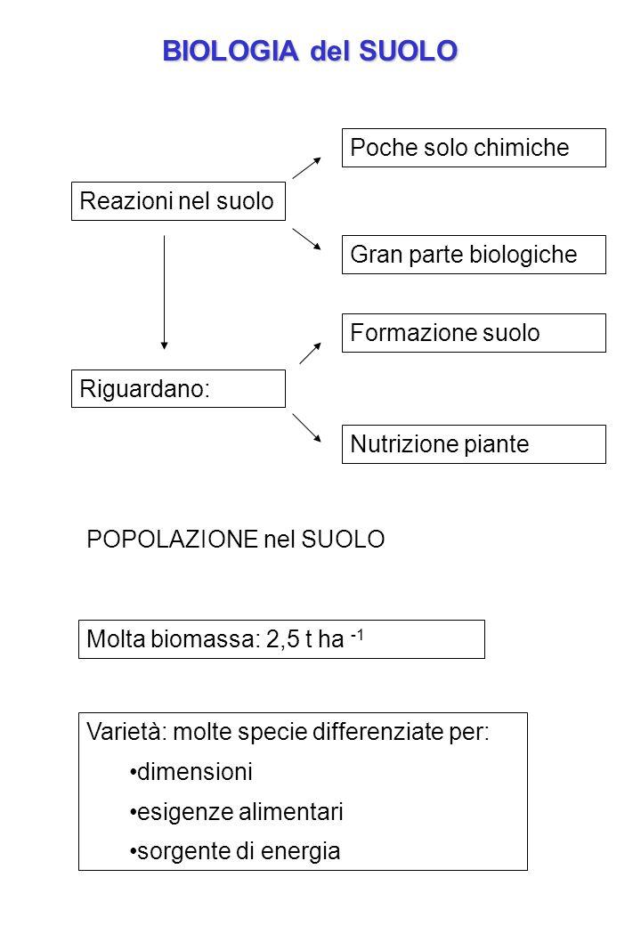 BIOLOGIA del SUOLO Reazioni nel suolo Poche solo chimiche Gran parte biologiche Riguardano: Formazione suolo Nutrizione piante POPOLAZIONE nel SUOLO M