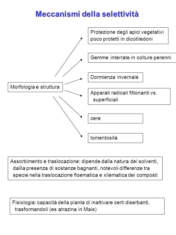 Morfologia e struttura Meccanismi della selettività Gemme interrate in colture perenni Protezione degli apici vegetativi poco protetti in dicotiledoni