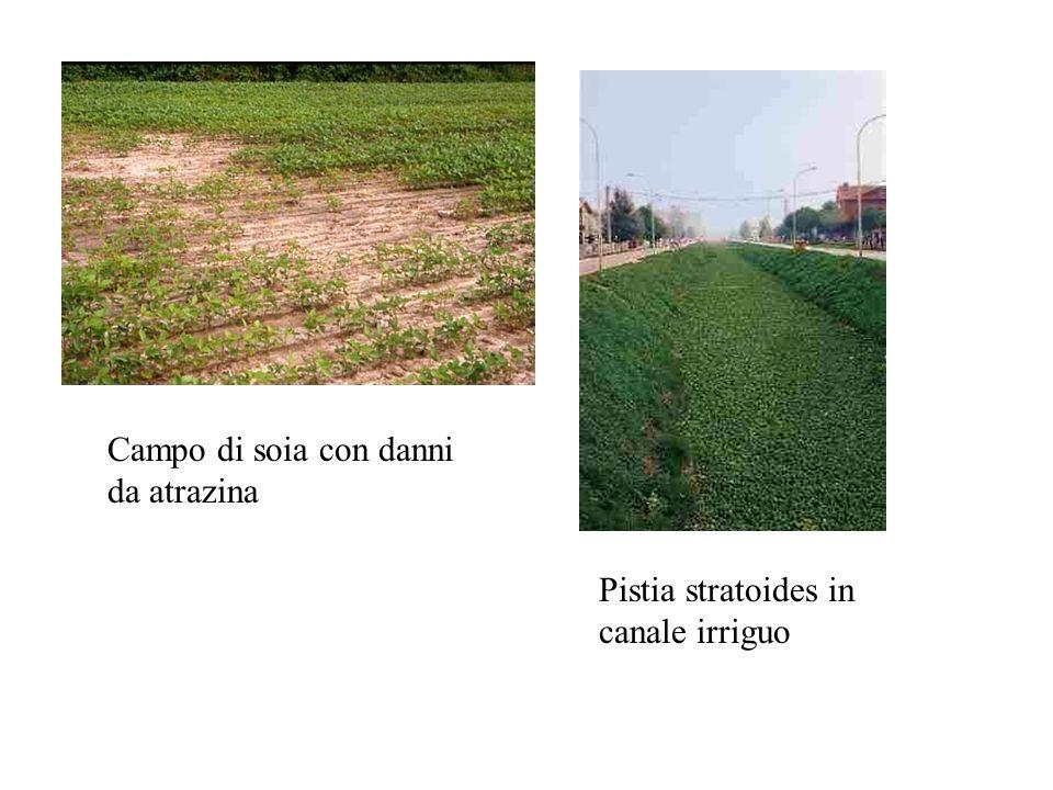 CLASSIFICAZIONE DELLE INFESTANTI BOTANICA (Monocotiledoni – Dicotiledoni - Pteridofite) DURATA -ANNUALI (moltissime, propagazione da seme) -BIENNALI (Dacus carota, Bromus arvensis, Myosotis arvensis) -POLIENNALI vere e proprie (arbusti, Dactylis, Rumex,……) rizomatose (gramigna, cipero, sorghetta,……)