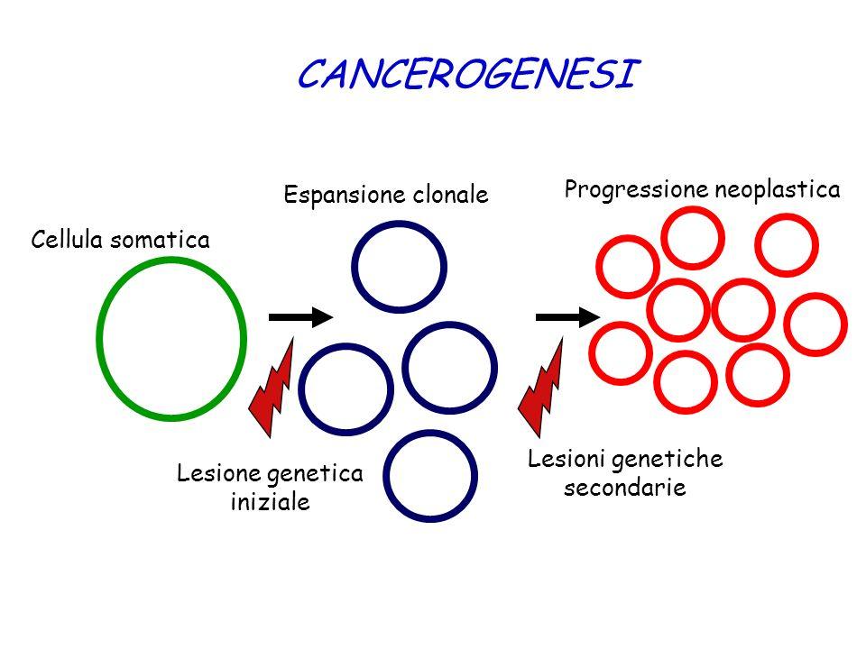 CANCEROGENESI Cellula somatica Espansione clonale Lesione genetica iniziale Lesioni genetiche secondarie Progressione neoplastica