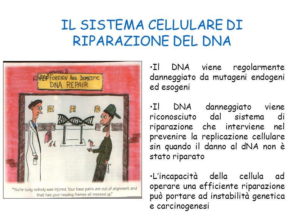 IL SISTEMA CELLULARE DI RIPARAZIONE DEL DNA Il DNA viene regolarmente danneggiato da mutageni endogeni ed esogeni Il DNA danneggiato viene riconosciut