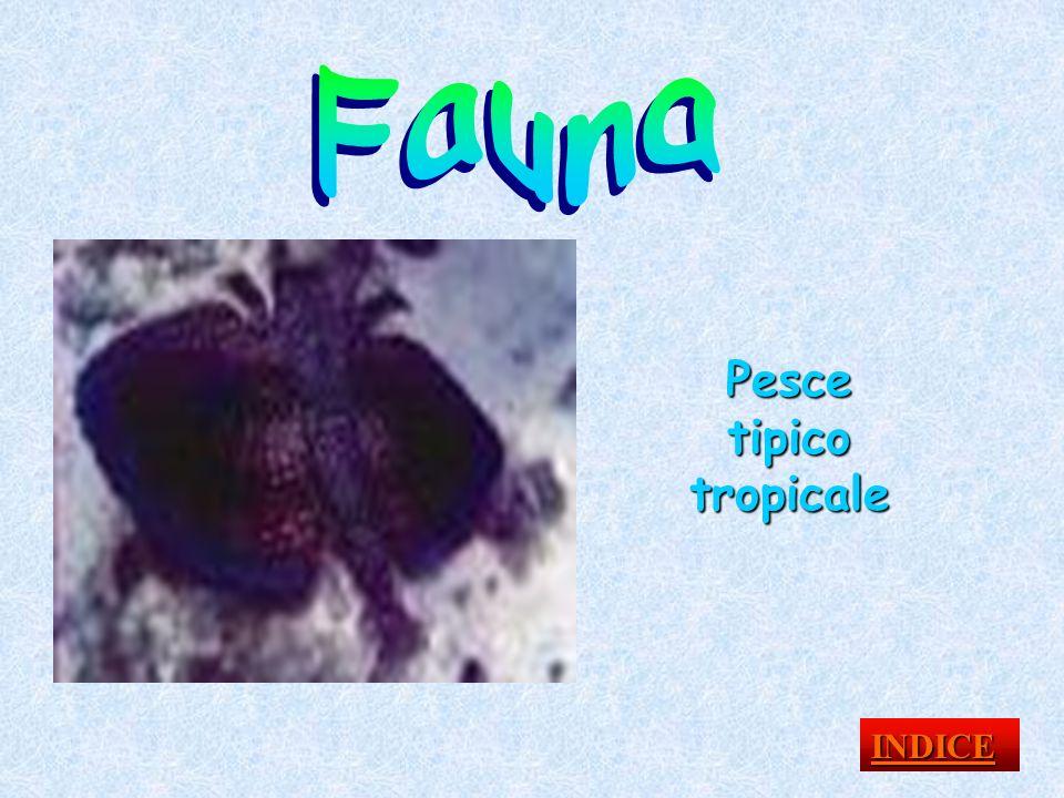 Pesce tipico tropicale INDICE