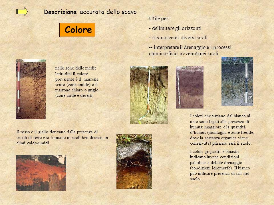 Descrizione accurata dello scavo Colore I colori che variano dal bianco al nero sono legati alla presenza di humus; maggiore è la quantità dhumus (mon