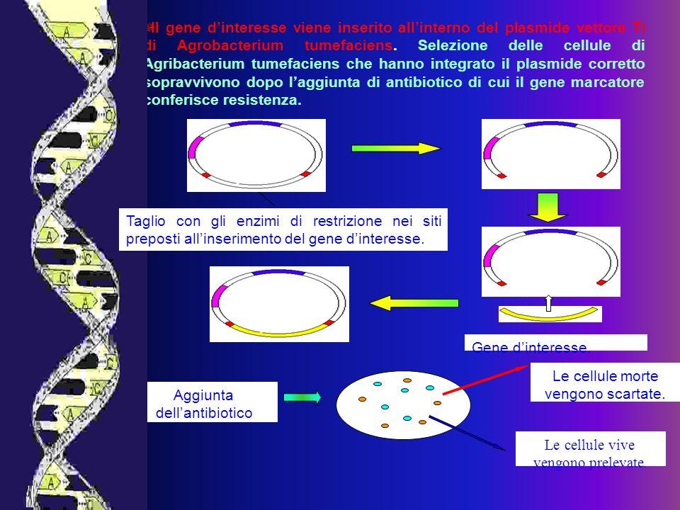 Gene dinteresse. Le cellule morte vengono scartate. Le cellule vive vengono prelevate. Aggiunta dellantibiotico Il gene dinteresse viene inserito alli