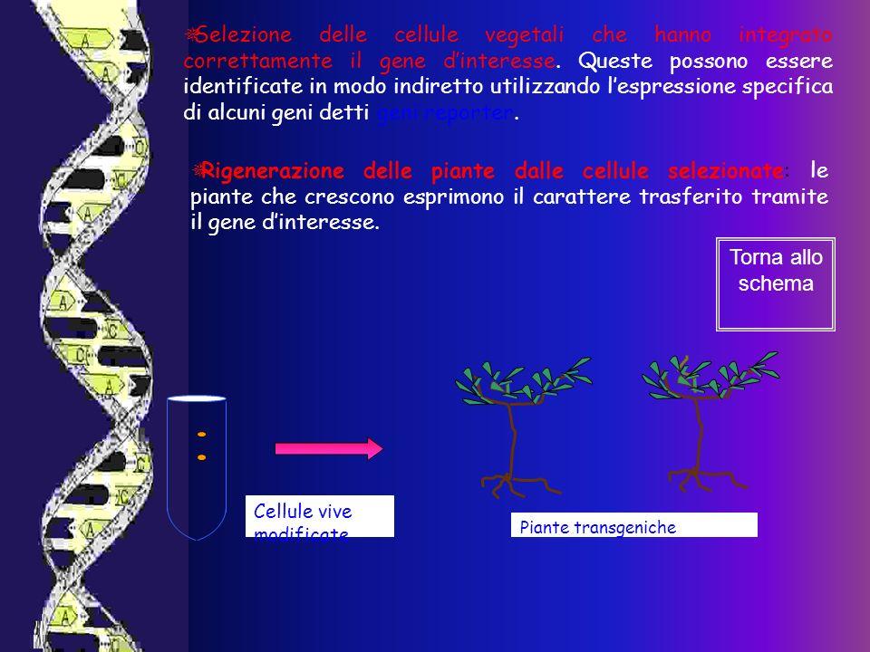 Cellule vive modificate Piante transgeniche Selezione delle cellule vegetali che hanno integrato correttamente il gene dinteresse. Queste possono esse