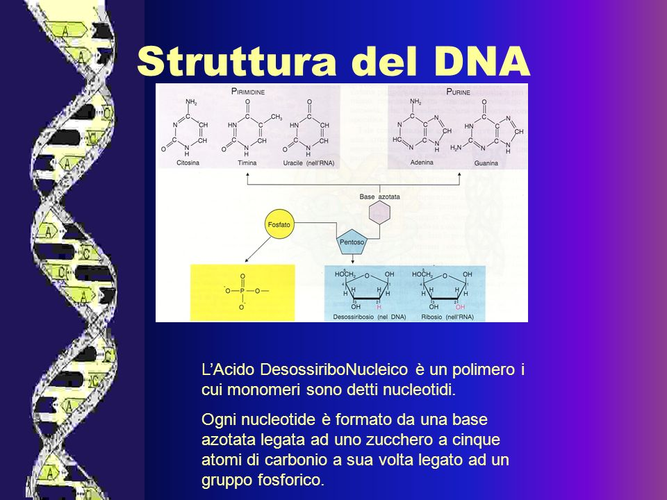 Le basi azotate sono:adenina, guanina, timina e citosina, Il gruppo fosforico lega, attraverso un ponte fosfato, il ribosio di un nucleotide con quello del nucleotide adiacente.