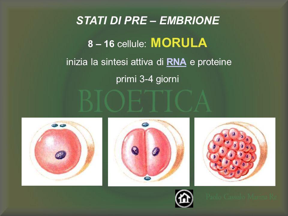 STATI DI PRE – EMBRIONE 8 – 16 cellule: MORULA inizia la sintesi attiva di RNA e proteineRNA primi 3-4 giorni