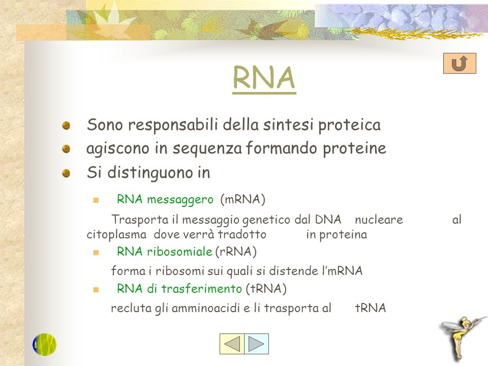 DNA È presente in tutte le cellule dei viventi: nelle cellule procariote è presente nel citoplasma Nelle cellule eucariote è presente nel Nucleo Nei m
