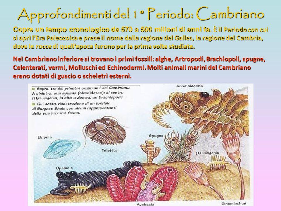 Approfondimenti del 1° Periodo : Cambriano Copre un tempo cronologico da 570 a 500 milioni di anni fa. È ÈÈ È il Periodo con cui si aprì lEra Paleozoi