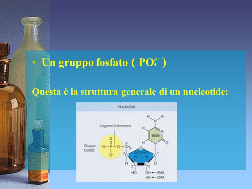 Catena polinucleotidica Questi 3 componenti sono disposti nei nucleotidi in modo tale che lo zucchero lega da una parte la base azotata dallaltra il gruppo fosfato.