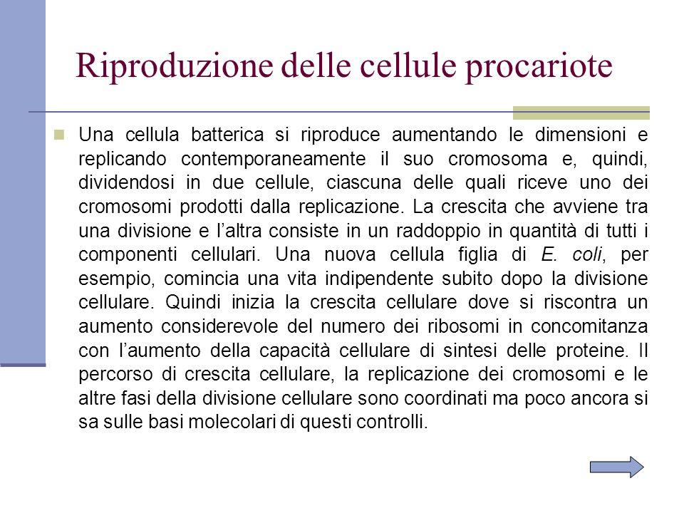 Riproduzione delle cellule procariote Una cellula batterica si riproduce aumentando le dimensioni e replicando contemporaneamente il suo cromosoma e,