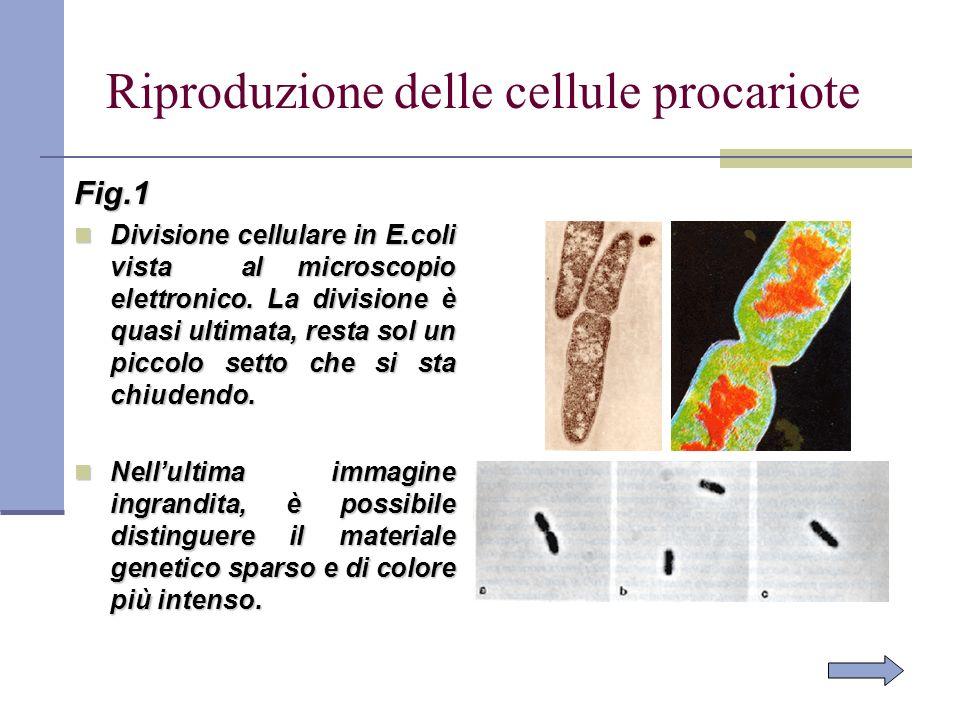 Riproduzione delle cellule procariote Fig.1 Divisione cellulare in E.coli vista al microscopio elettronico. La divisione è quasi ultimata, resta sol u