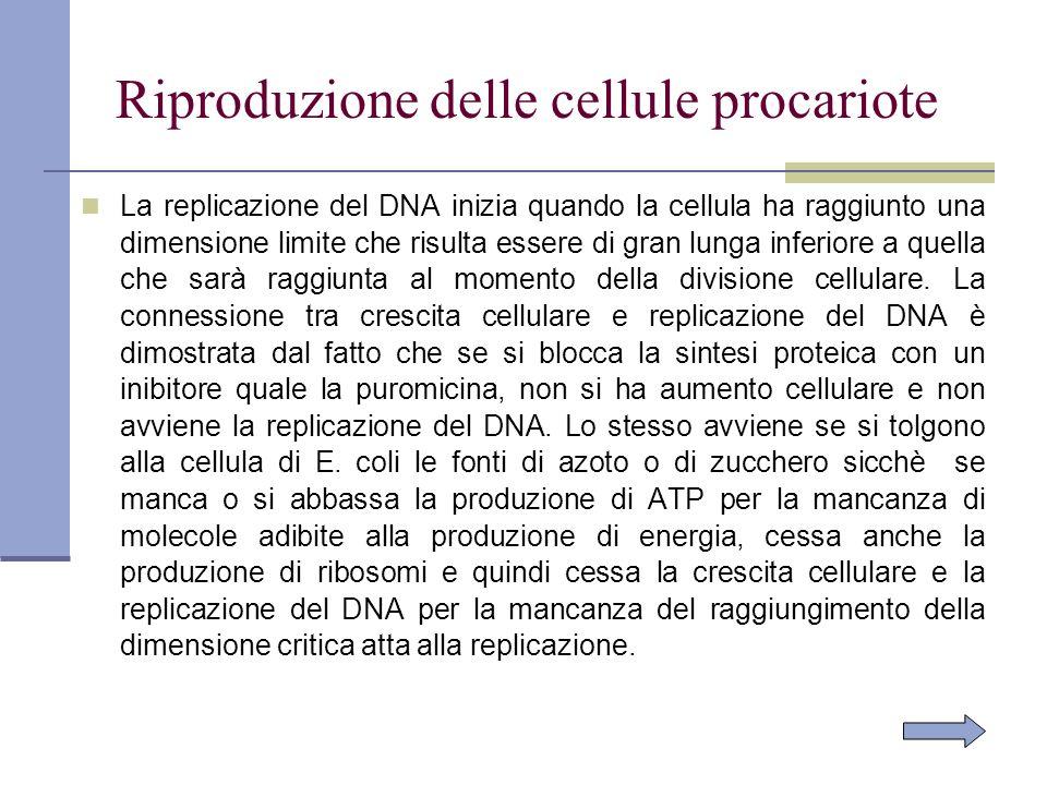 Riproduzione delle cellule procariote La replicazione del DNA inizia quando la cellula ha raggiunto una dimensione limite che risulta essere di gran l