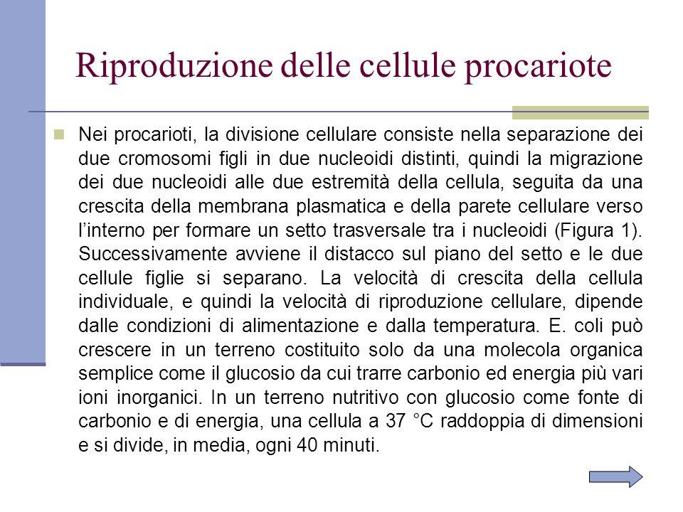 Nei procarioti, la divisione cellulare consiste nella separazione dei due cromosomi figli in due nucleoidi distinti, quindi la migrazione dei due nucl