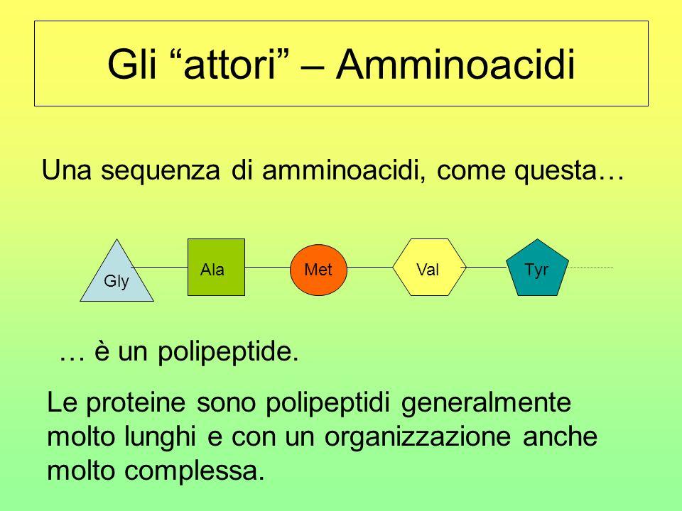Gli attori – Amminoacidi Una sequenza di amminoacidi, come questa… Gly Ala Met ValTyr … è un polipeptide. Le proteine sono polipeptidi generalmente mo