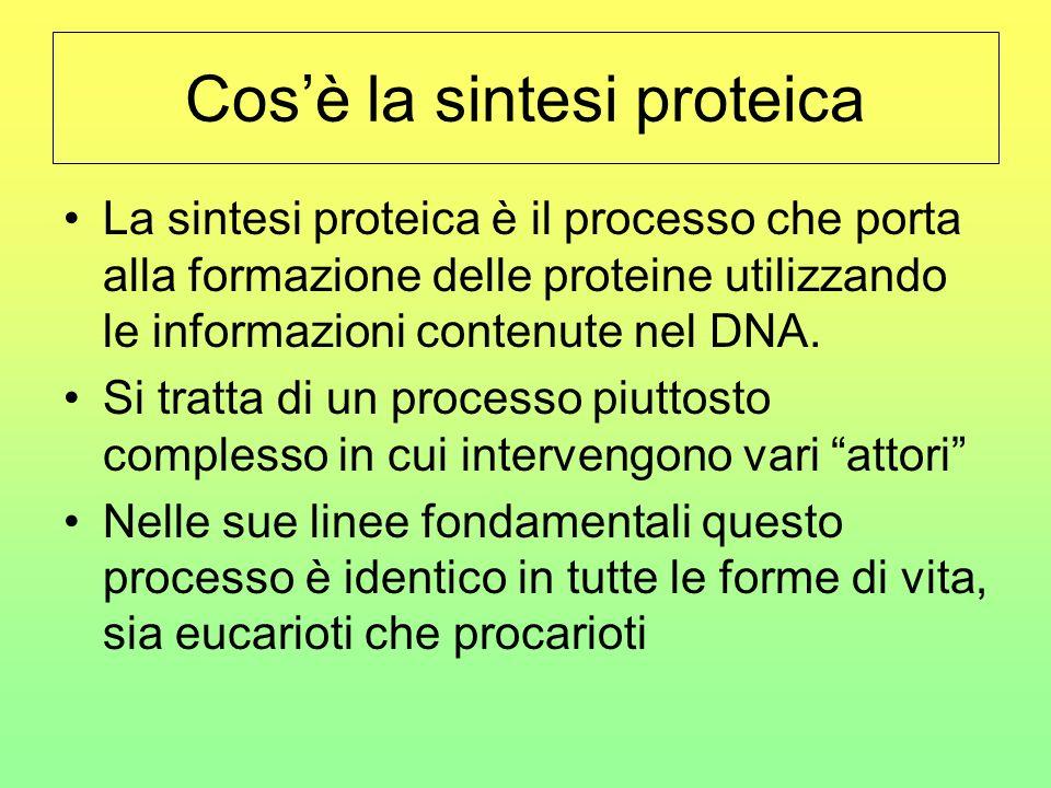 Cosè la sintesi proteica La sintesi proteica è il processo che porta alla formazione delle proteine utilizzando le informazioni contenute nel DNA. Si