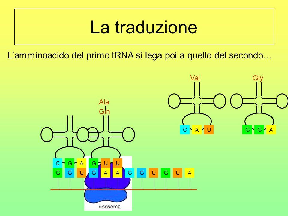 La traduzione GCUCAACCUGUA CGA Ala UGU Gln AGG Gly UCA Val Lamminoacido del primo tRNA si lega poi a quello del secondo…