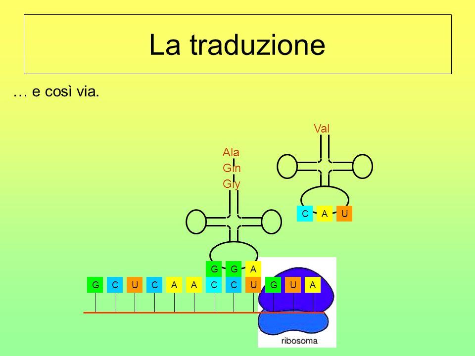 La traduzione GCUCAACCUGUA AGG Gly UCA Val … e così via. Ala Gln
