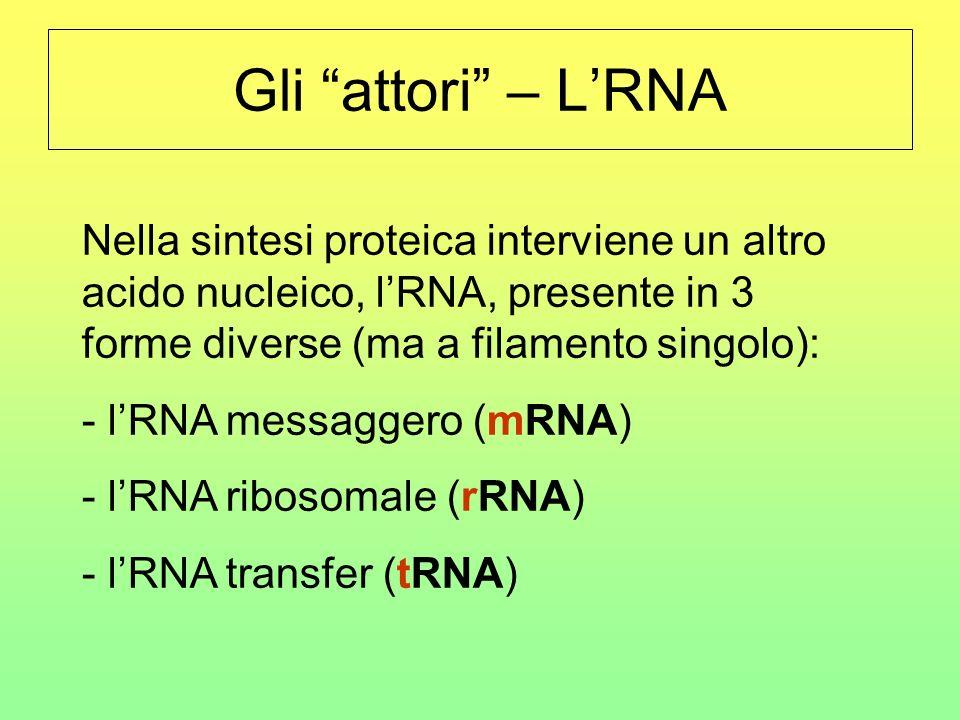 La traduzione GCUCAACCUGUA CGA Ala UGU Gln AGG Gly UCA Val … e un nuovo tRNA si attacca allRNA messaggero