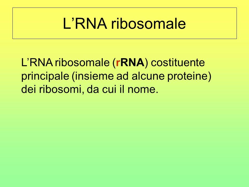 LRNA ribosomale LRNA ribosomale (rRNA) costituente principale (insieme ad alcune proteine) dei ribosomi, da cui il nome.