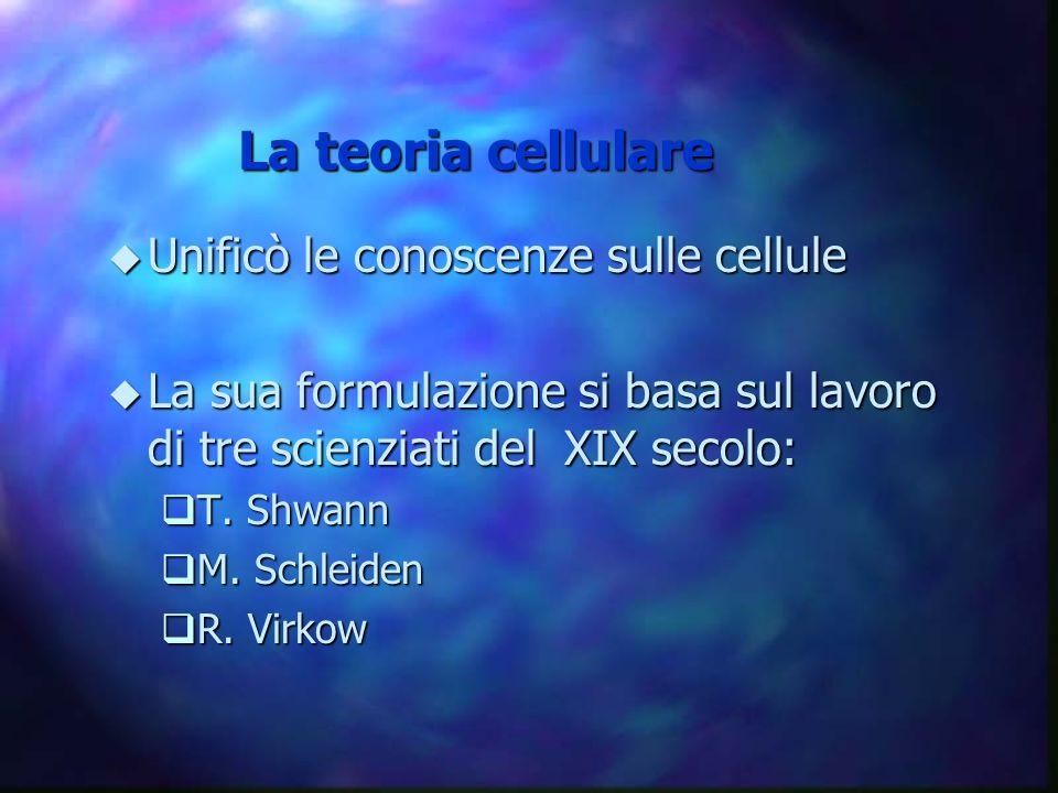La teoria cellulare u Unificò le conoscenze sulle cellule u La sua formulazione si basa sul lavoro di tre scienziati del XIX secolo: qT. Shwann qM. Sc