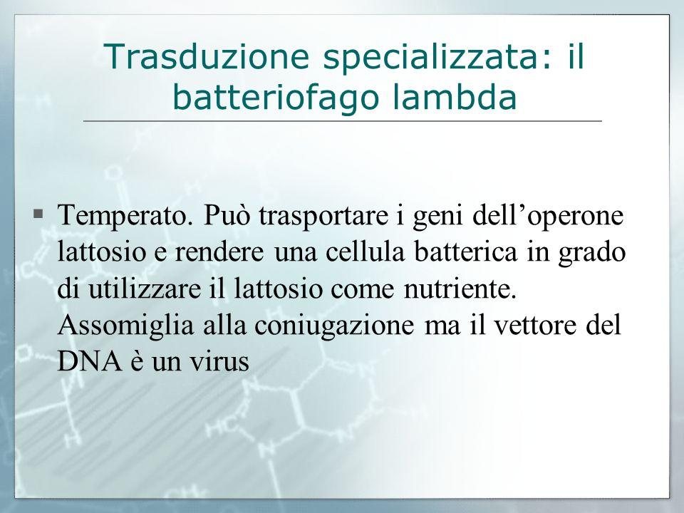 Trasduzione specializzata: il batteriofago lambda Temperato. Può trasportare i geni delloperone lattosio e rendere una cellula batterica in grado di u