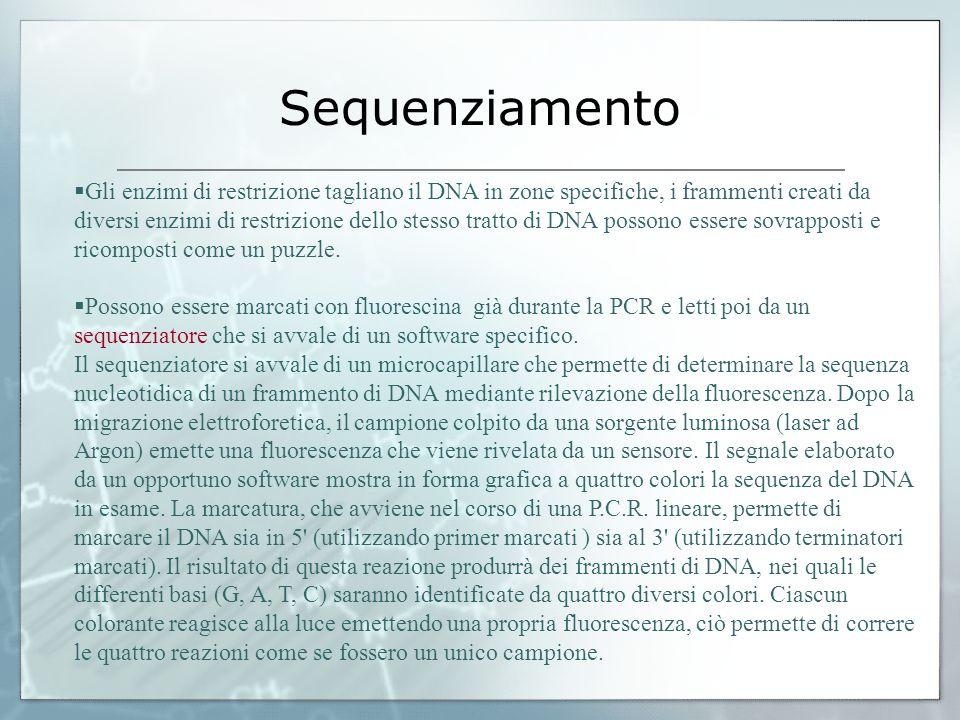 Gli enzimi di restrizione tagliano il DNA in zone specifiche, i frammenti creati da diversi enzimi di restrizione dello stesso tratto di DNA possono e