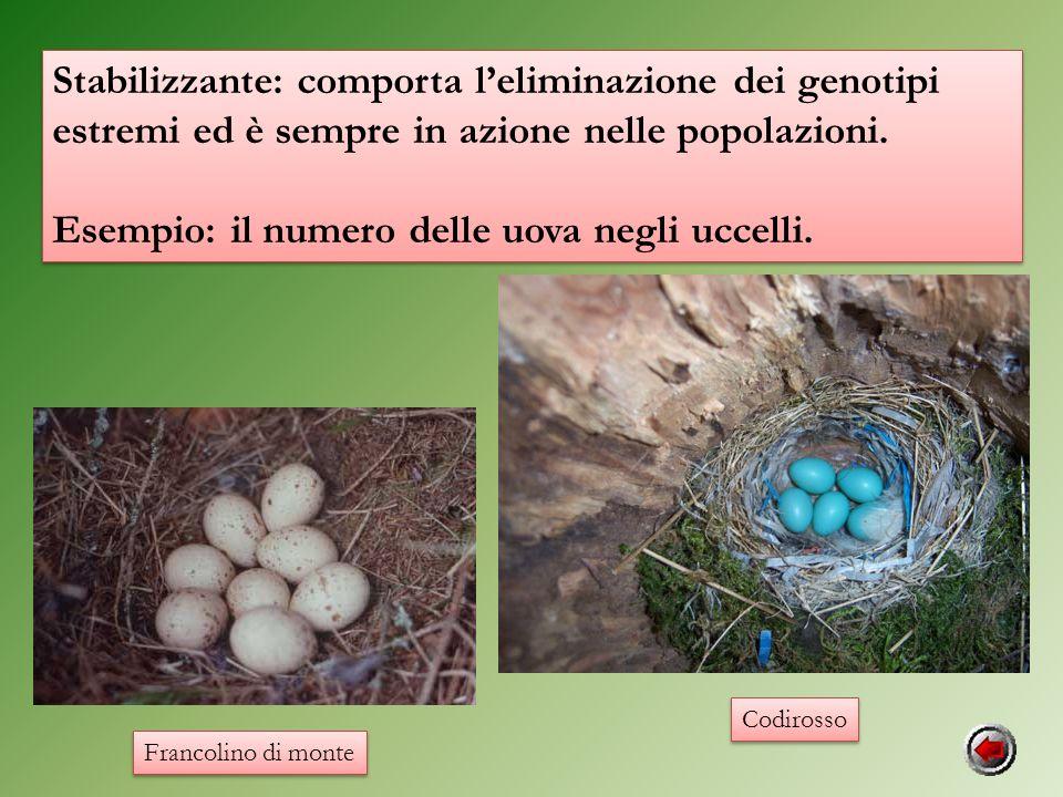Stabilizzante: comporta leliminazione dei genotipi estremi ed è sempre in azione nelle popolazioni. Esempio: il numero delle uova negli uccelli. Stabi