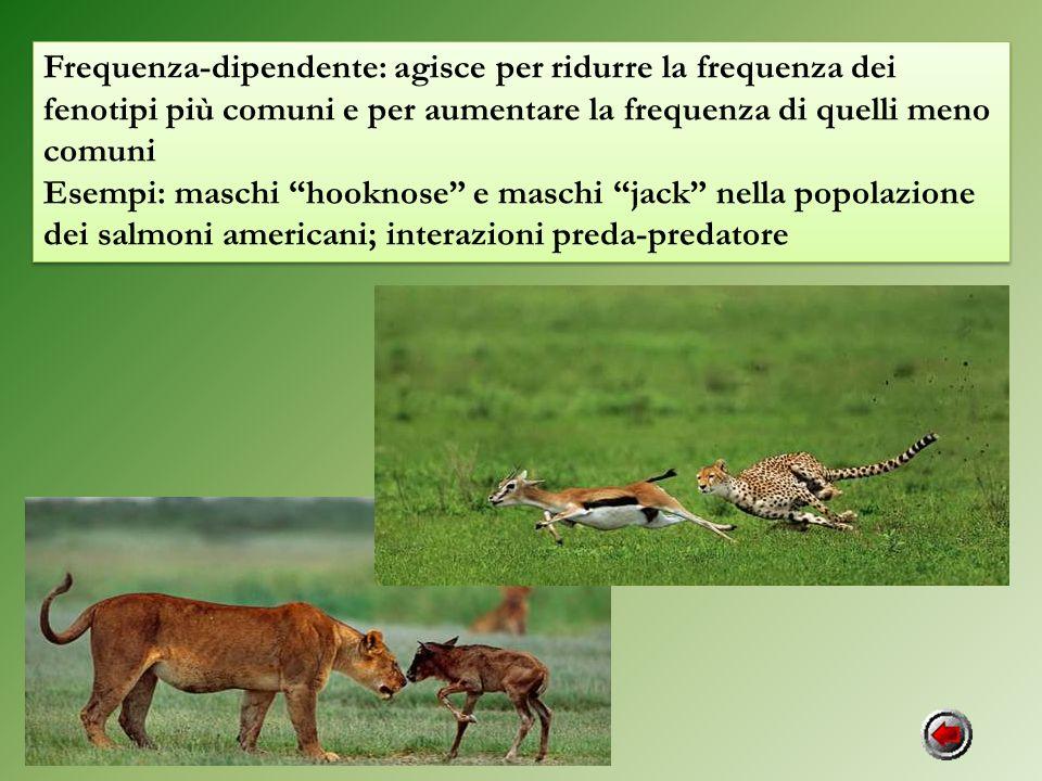 Frequenza-dipendente: agisce per ridurre la frequenza dei fenotipi più comuni e per aumentare la frequenza di quelli meno comuni Esempi: maschi hookno