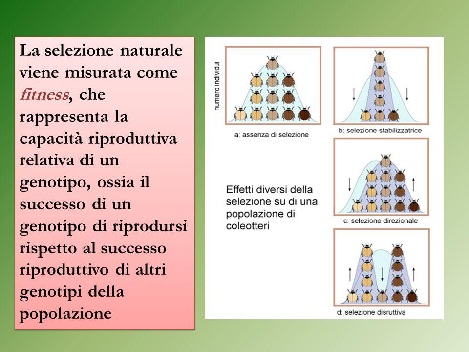 La selezione naturale viene misurata come fitness, che rappresenta la capacità riproduttiva relativa di un genotipo, ossia il successo di un genotipo