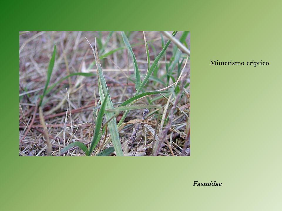 Fasmidae Mimetismo criptico