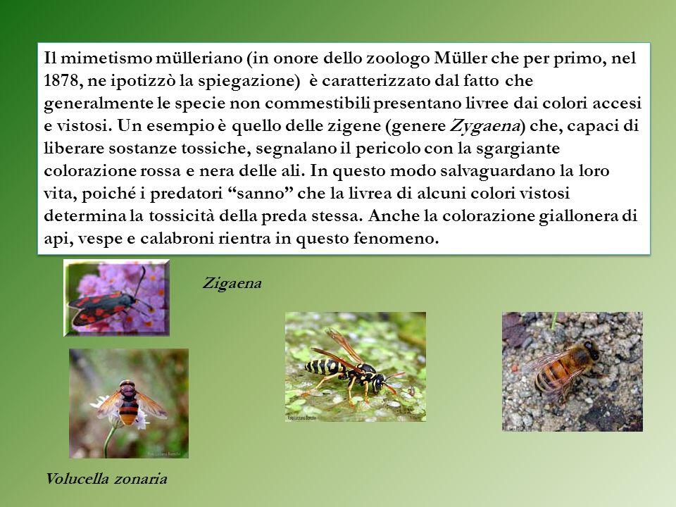 Il mimetismo mülleriano (in onore dello zoologo Müller che per primo, nel 1878, ne ipotizzò la spiegazione) è caratterizzato dal fatto che generalment