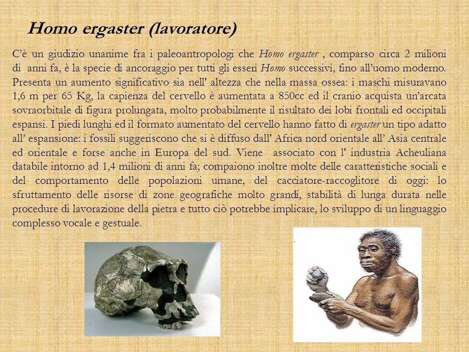 Homo ergaster (lavoratore) Cè un giudizio unanime fra i paleoantropologi che Homo ergaster, comparso circa 2 milioni di anni fa, è la specie di ancora
