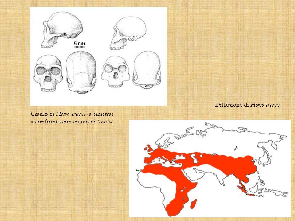 Cranio di Homo erectus (a sinistra) a confronto con cranio di habilis Diffusione di Homo erectus