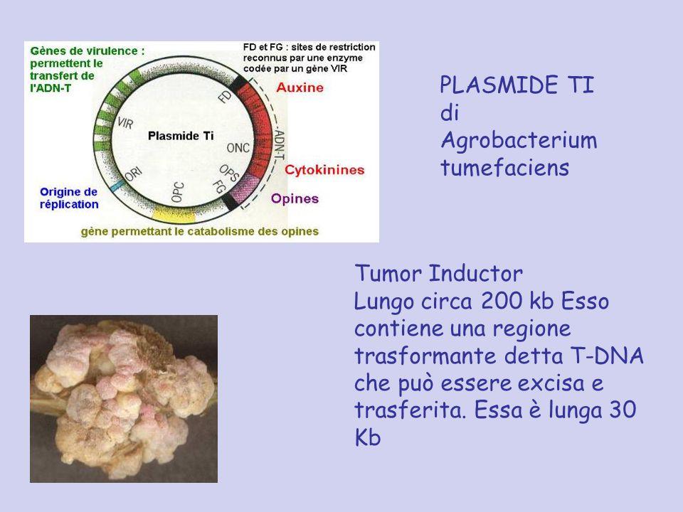 PLASMIDE TI di Agrobacterium tumefaciens Tumor Inductor Lungo circa 200 kb Esso contiene una regione trasformante detta T-DNA che può essere excisa e