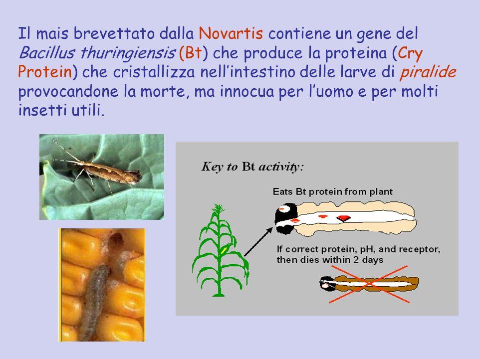 Il mais brevettato dalla Novartis contiene un gene del Bacillus thuringiensis (Bt) che produce la proteina (Cry Protein) che cristallizza nellintestin