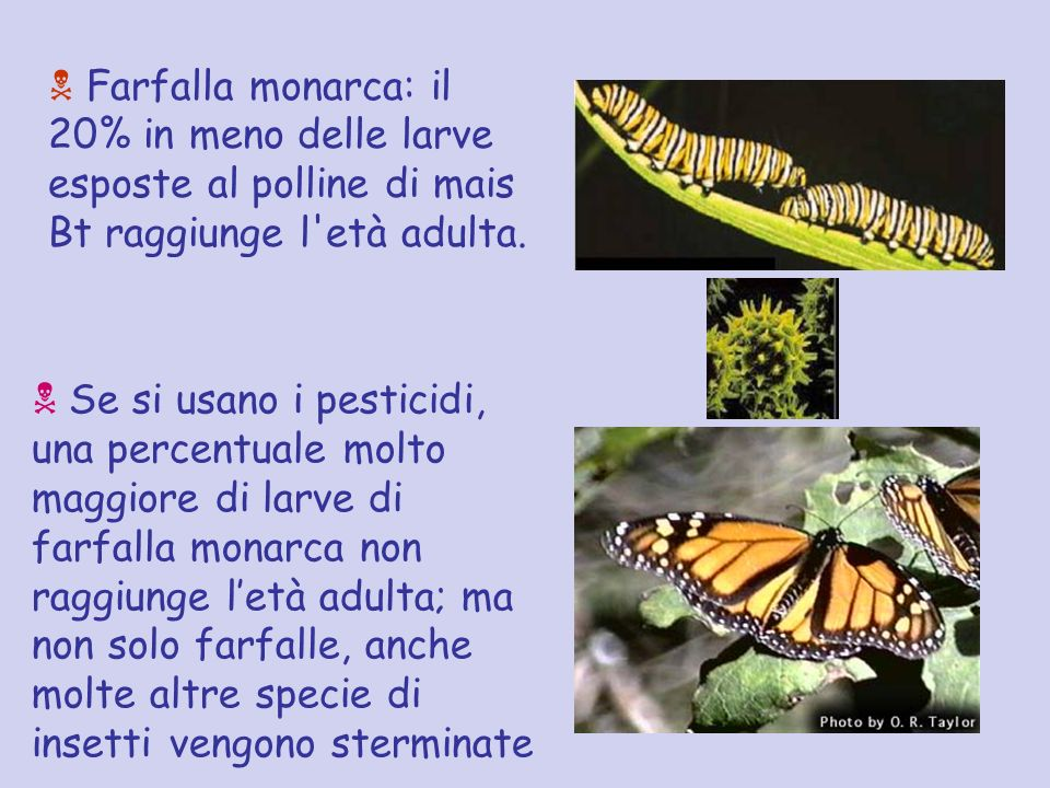 Farfalla monarca: il 20% in meno delle larve esposte al polline di mais Bt raggiunge l'età adulta. Se si usano i pesticidi, una percentuale molto magg