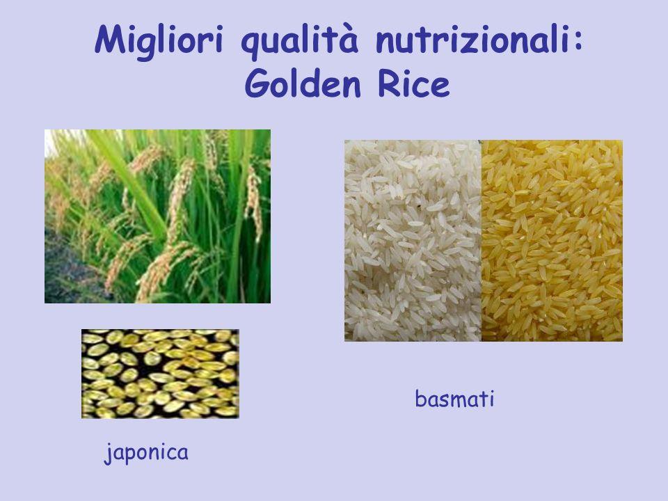 Migliori qualità nutrizionali: Golden Rice japonica basmati