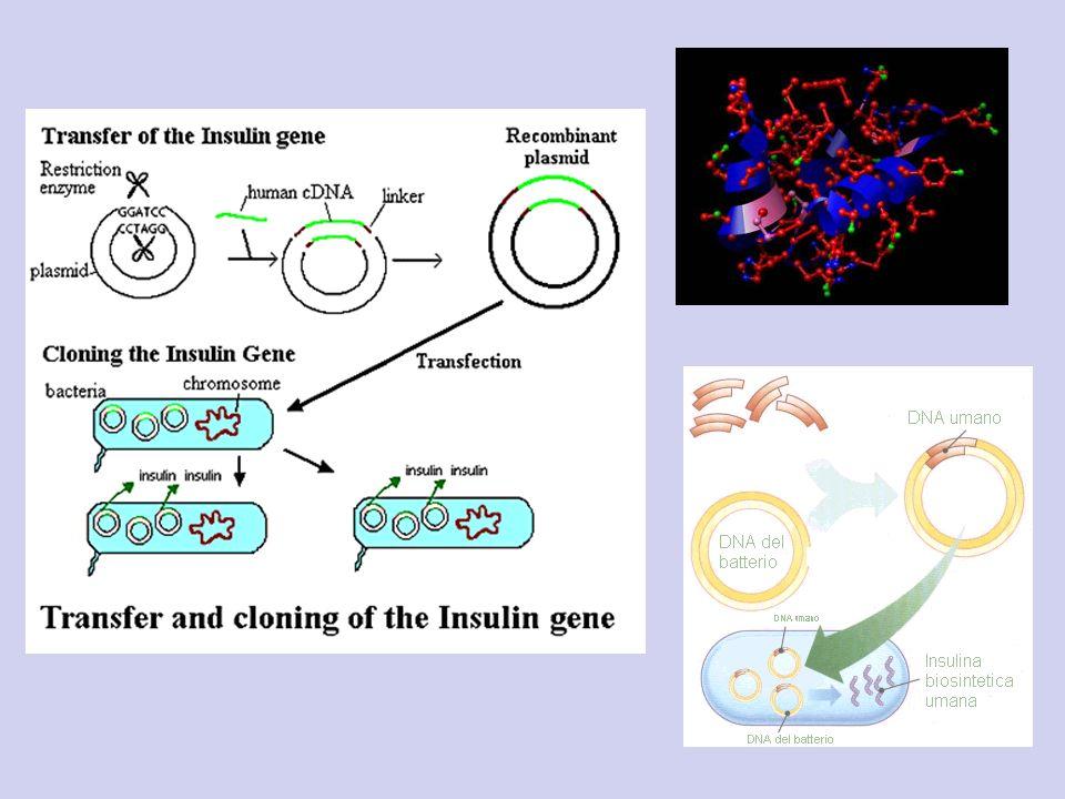 Trasferimento di geni tra cellule eucariote Lo scopo è quello di sostituire dei geni cattivi con i geni buoni oppure per migliorare le prestazioni di una specie Complesso: devono essere incorporati nei cromosomi, introdotti in molte cellule, regolati Esperimenti riusciti con i topi: il gene della β- globina di coniglio Introdotta nelle uova con un plasmide è stata inglobata nel genoma al posto giusto ed espressa, topo con la β globina di coniglio e trasmessa con distribuzione mendeliana