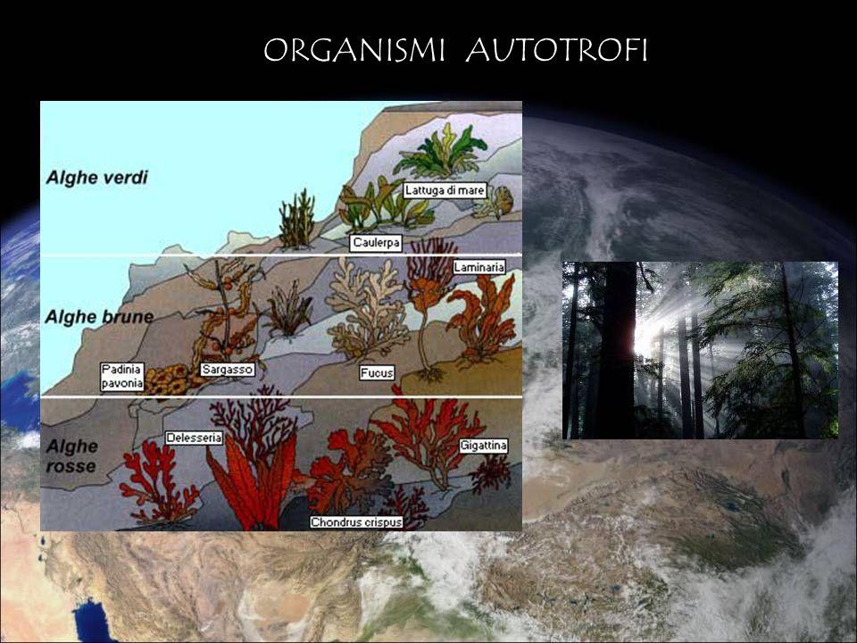 ORGANISMI ETEROTROFI ERBIVORI (eterotrofi di 1° livello) dipendono direttamente dai produttori CARNIVORI (eterotrofi di 2° e 3° livello) la cui fonte di energia è costituita rispettivamente da erbivori o da altri carnivori di livello inferiore DECOMPOSITORI Organismi che ricavano lenergia dalle demolizione di sostanza organica morta