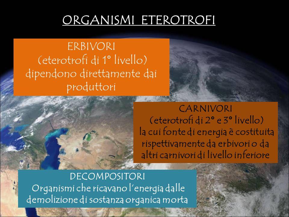 ORGANISMI ETEROTROFI ERBIVORI (eterotrofi di 1° livello) dipendono direttamente dai produttori CARNIVORI (eterotrofi di 2° e 3° livello) la cui fonte