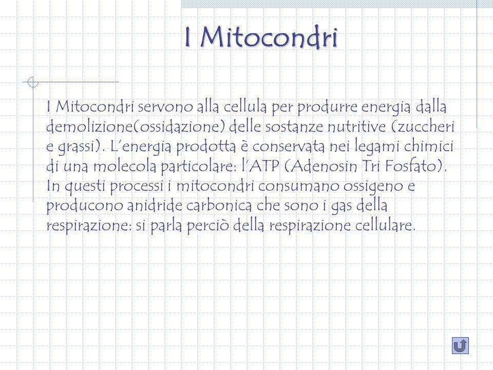 I Mitocondri I Mitocondri servono alla cellula per produrre energia dalla demolizione(ossidazione) delle sostanze nutritive (zuccheri e grassi).