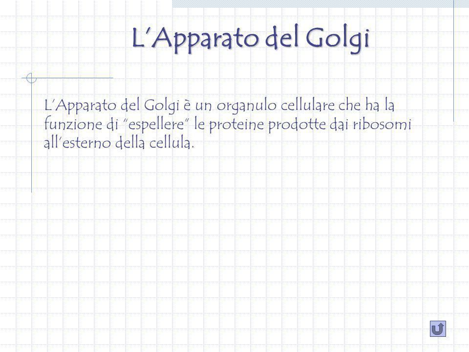 LApparato del Golgi LApparato del Golgi è un organulo cellulare che ha la funzione di espellere le proteine prodotte dai ribosomi allesterno della cellula.