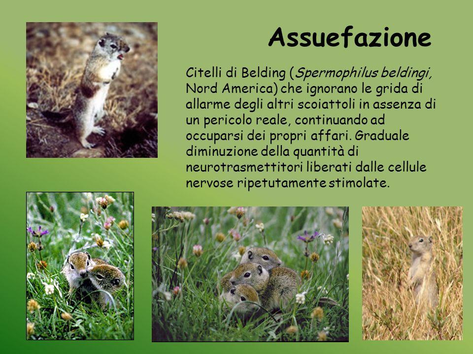 Citelli di Belding (Spermophilus beldingi, Nord America) che ignorano le grida di allarme degli altri scoiattoli in assenza di un pericolo reale, cont