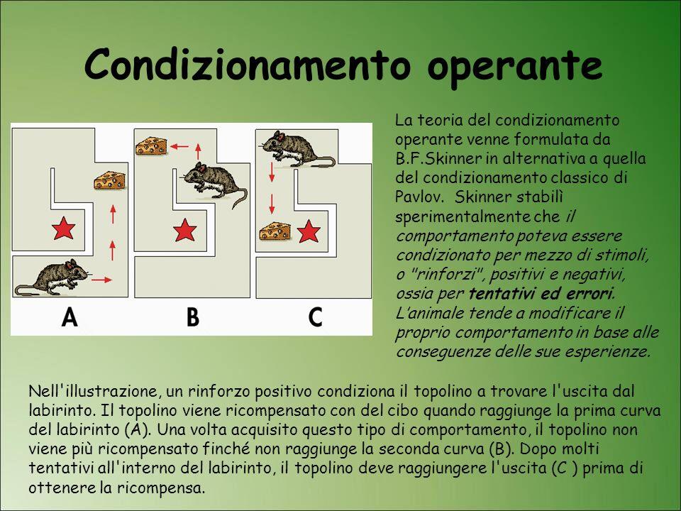 Condizionamento operante Nell'illustrazione, un rinforzo positivo condiziona il topolino a trovare l'uscita dal labirinto. Il topolino viene ricompens