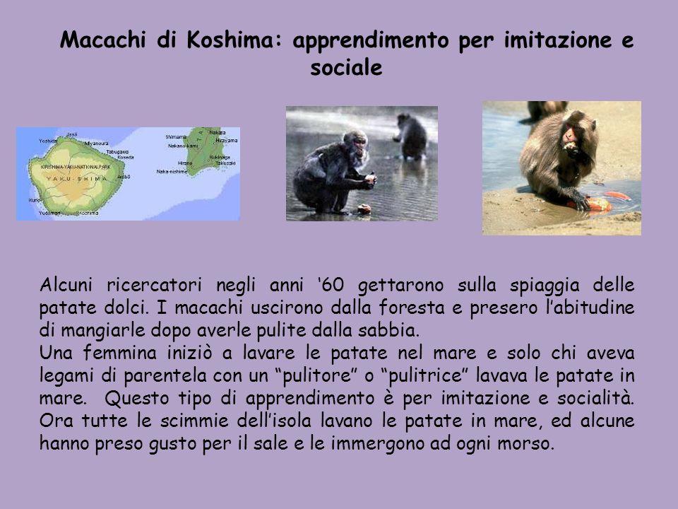 Macachi di Koshima: apprendimento per imitazione e sociale Alcuni ricercatori negli anni 60 gettarono sulla spiaggia delle patate dolci. I macachi usc