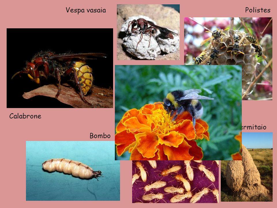 Vespa vasaiaPolistes Termiti e termitaio Calabrone Bombo