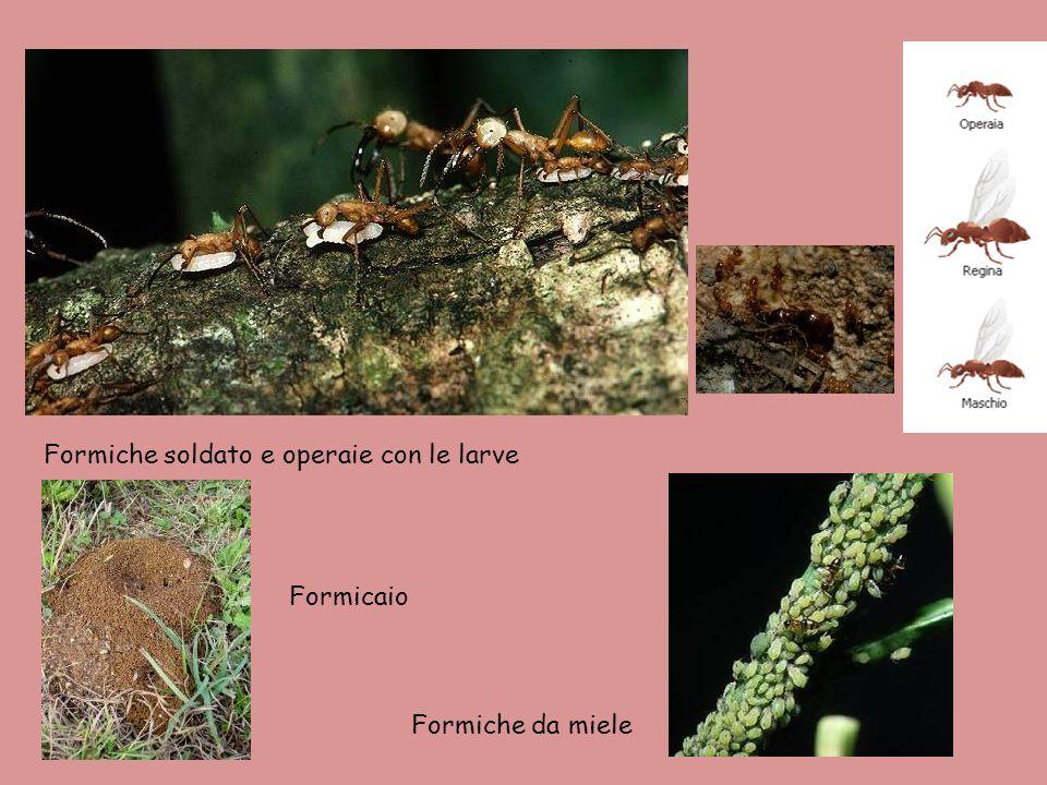 Formiche soldato e operaie con le larve Formiche da miele Formicaio