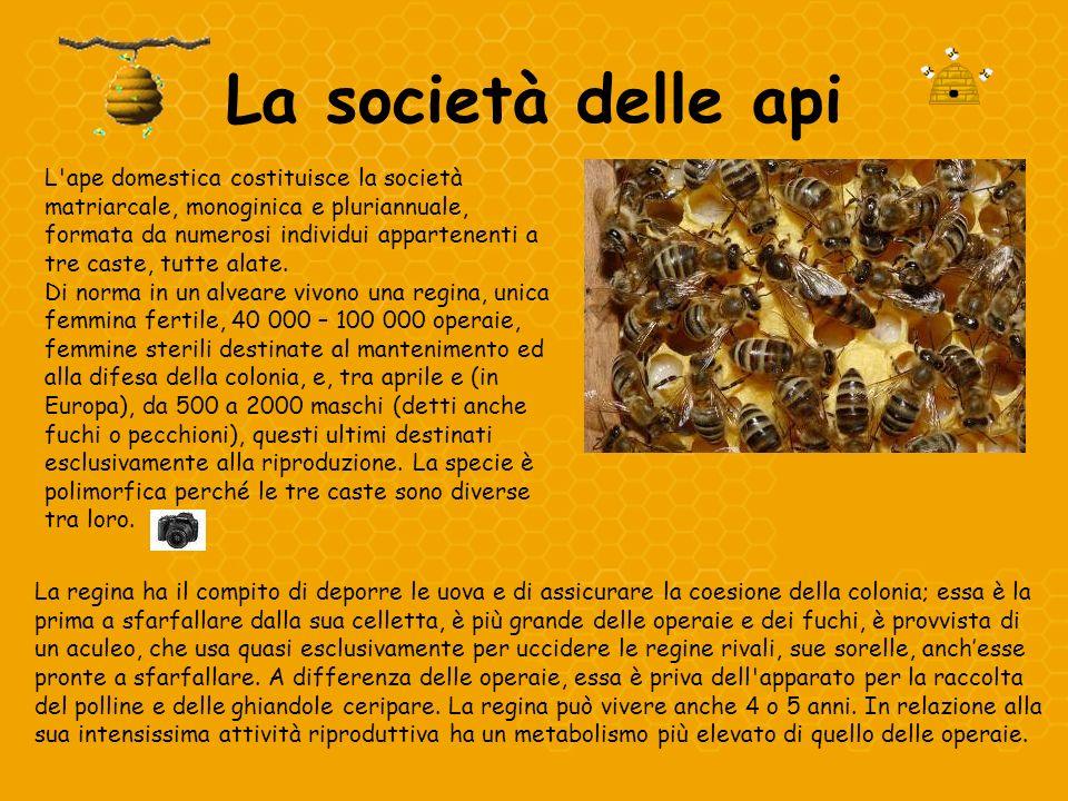 La società delle api L'ape domestica costituisce la società matriarcale, monoginica e pluriannuale, formata da numerosi individui appartenenti a tre c